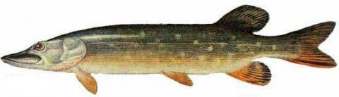 Щука рыбка