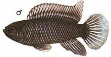 Рыба-хамелеон